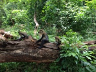 At the Boabeng Monkey Sanctuary